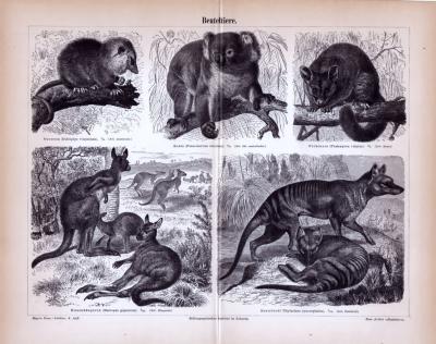 Beuteltiere ca. 1885 Original der Zeit