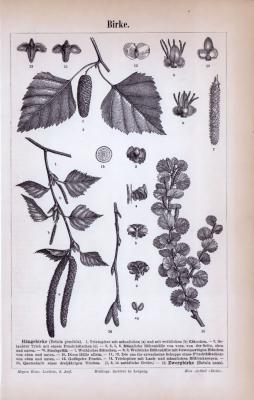 Birke ca. 1885 Original der Zeit