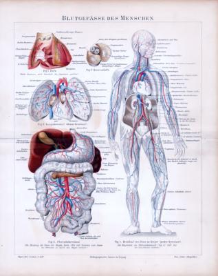 Blutgefässe des Menschen ca. 1885 Original der Zeit