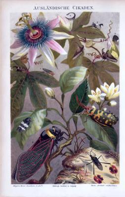 Ausländische Cikaden ca. 1885 Original der Zeit