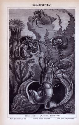 Einsiedlerkrebse ca. 1885 Original der Zeit