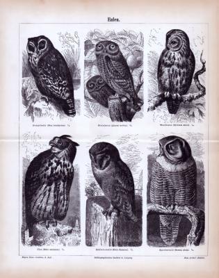Eulen ca. 1885 Original der Zeit