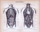 Eingeweide des Menschen I. ca. 1885 Original der Zeit