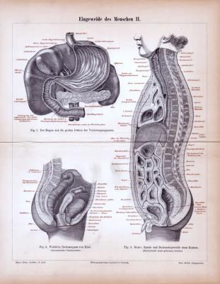 Eingeweide des Menschen II. ca. 1885 Original der Zeit