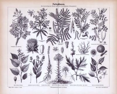 Farbepflanzen ca. 1885 Original der Zeit