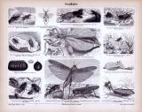 Stich aus 1885 mit Abbildungen von Insekten der Klasse...