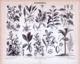Stich aus dem Jahr 1885 zeigt Genußmittelpflanzen und...
