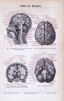 Medizinische Abhandlung aus 1885 zeigt das Gehirn des Menschen in verschiedenen Parspektiven.