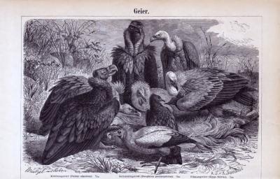 Stich aus 1885 zeigt 3 Geierarten.