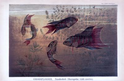 Chromolithographie aus 1885 zeigt Paradiesfische in verschiedenen Perspektiven im natürlichen Lebensraum.