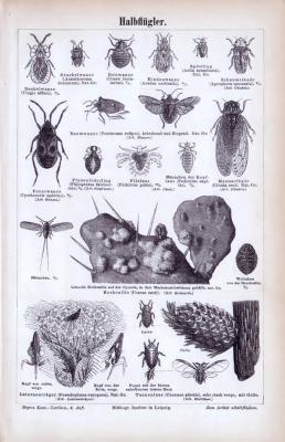 Stich aus 1885 zeigt Insekten der Gattung Halbflügler.