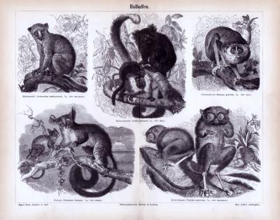 Stich aus 1885 zeigt verschiedene Affenarten in Naturszenerie.