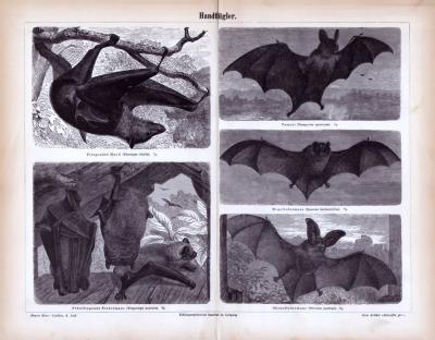 Stich aus 1885 zeigt verschiedene Fledermausarten in natürlicher Umgebung.