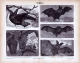Stich aus 1885 zeigt verschiedene Fledermausarten in...