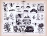 Stich aus 1885 zeigt verschiedene Insekten aus der Gruppe der Hautflügler.