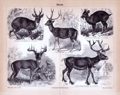 Stich aus 1885 zeigt verschiedene Hirscharten in Detail und natürlicher Umgebung.