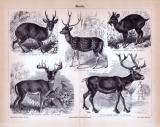 Stich aus 1885 zeigt verschiedene Hirscharten in Detail...