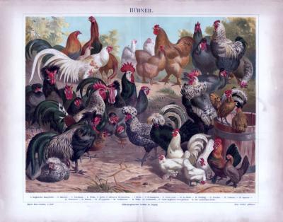 Chromolithographie aus 1885 zeigt 21 verschiedene Hühnerarten.