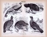 Stich aus 1885 zeigt verschiedene Arten von Hühnervögeln in natürlicher Umgebung.