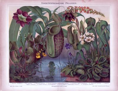 Chromolithographie aus 1885 zeigt 10 insektenfressende Pflanzen verschiedener Arten.