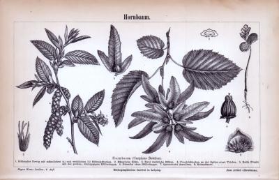Stich aus 1885 zeigt Blätter, Blüten, Früchte und Samen des Hornbaums.