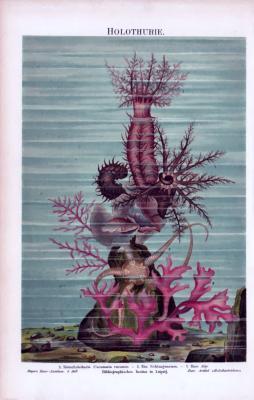 Chromolithographie aus 1885 zeigt eine Kletter Seegurke, einen Schlangenstern und eine Alge in einer Szenerie am Meeresboden.