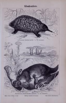 Stich aus 1885 zeigt verschiedene Ansichten von Kloakentieren.
