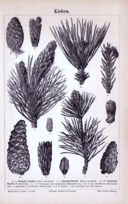 Stich aus 1885 zeigt eine Kiefer und unterschiedliche Details.