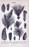 Stich aus 1885 zeigt eine Kiefer und unterschiedliche...