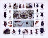 Chromolithographie aus 1885 zeigt verschiedene Käferarten und deren Larven.