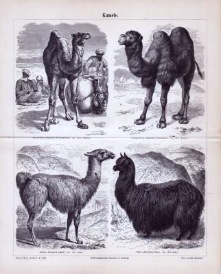 Stich aus 1885 zeigt 4 verschiedene Kamelarten.