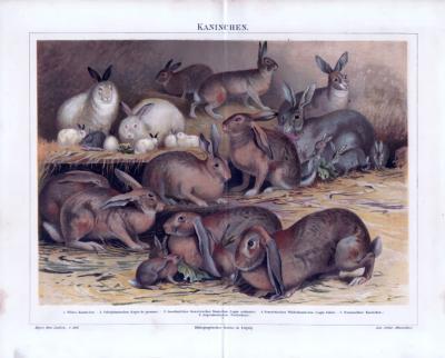 Chromolithographie aus 1885 zeigt 6 verschiedene Kaninchenarten.