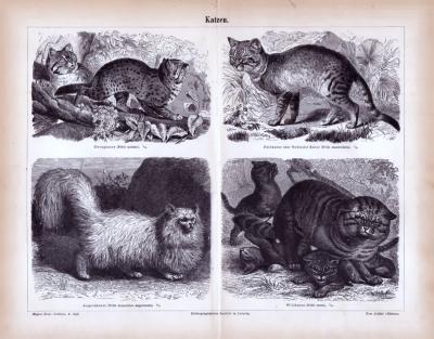 Stich aus 1885 zeigt 4 Katzenarten.
