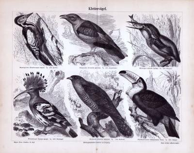 Stich aus 1885 zeigt verschiedene Klettervögel in Naturszenen.
