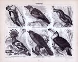 Stich aus 1885 zeigt verschiedene Klettervögel in...