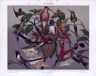Chromolithographie aus 1885 zeigt verschiedene Arten von Kolibris.