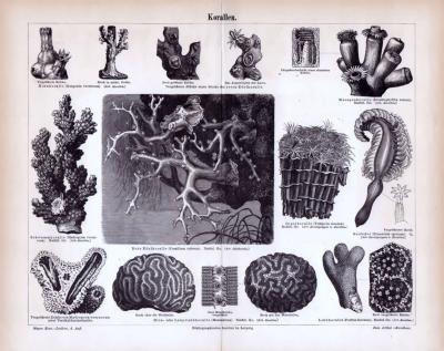 Stich aus 1885 zeigt verschiedene Korallen und deren unterschiedliche Details.