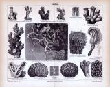 Stich aus 1885 zeigt verschiedene Korallen und deren...