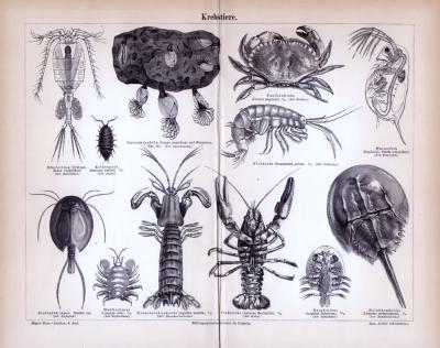 Stich aus 1885 zeigt verschiedene Krebstiere.