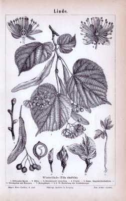 Stich aus 1885 zeigt verschiedene Linden und deren unterschiedliche Details.