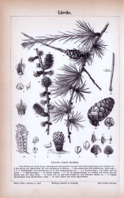 Stich aus 1885 zeigt verschiedene Lärchen und deren unterschiedliche Details.