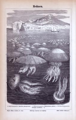 Stich aus 1885 zeigt Medusen in ihrem natürlichen Umfeld.
