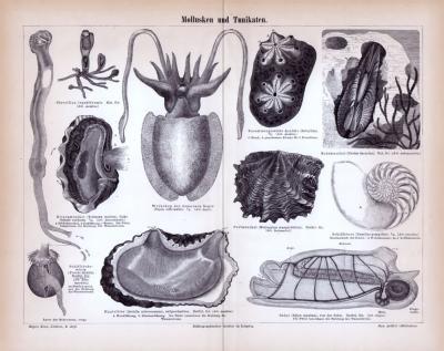 Stich aus 1885 zeigt verschiedene Meerestiere.