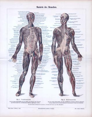 Farbige Lithographie aus 1885 zeigt in medizinischer Ansicht die Muskeln des Menschen