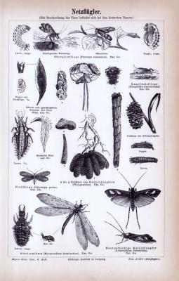 Stich aus 1885 zeigt Insekten der Gruppe der Netzflügler.