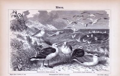 Stich aus 1885 zeigt verschiedene Möwenarten.