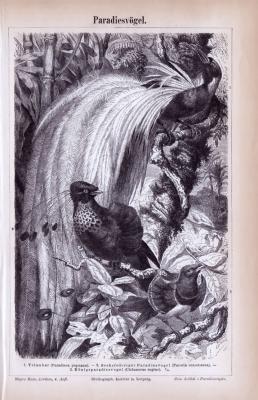 Stich aus 1885 zeigt 3 verschiedene Paradiesvögel.