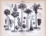 Stich aus 1885 zeigt verschiedene Arten von Palmen.