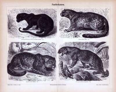 Stich aus 1885 zeigt verschiedene Pantherkatzen in natürlicher Umgebung.