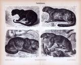 Stich aus 1885 zeigt verschiedene Pantherkatzen in...